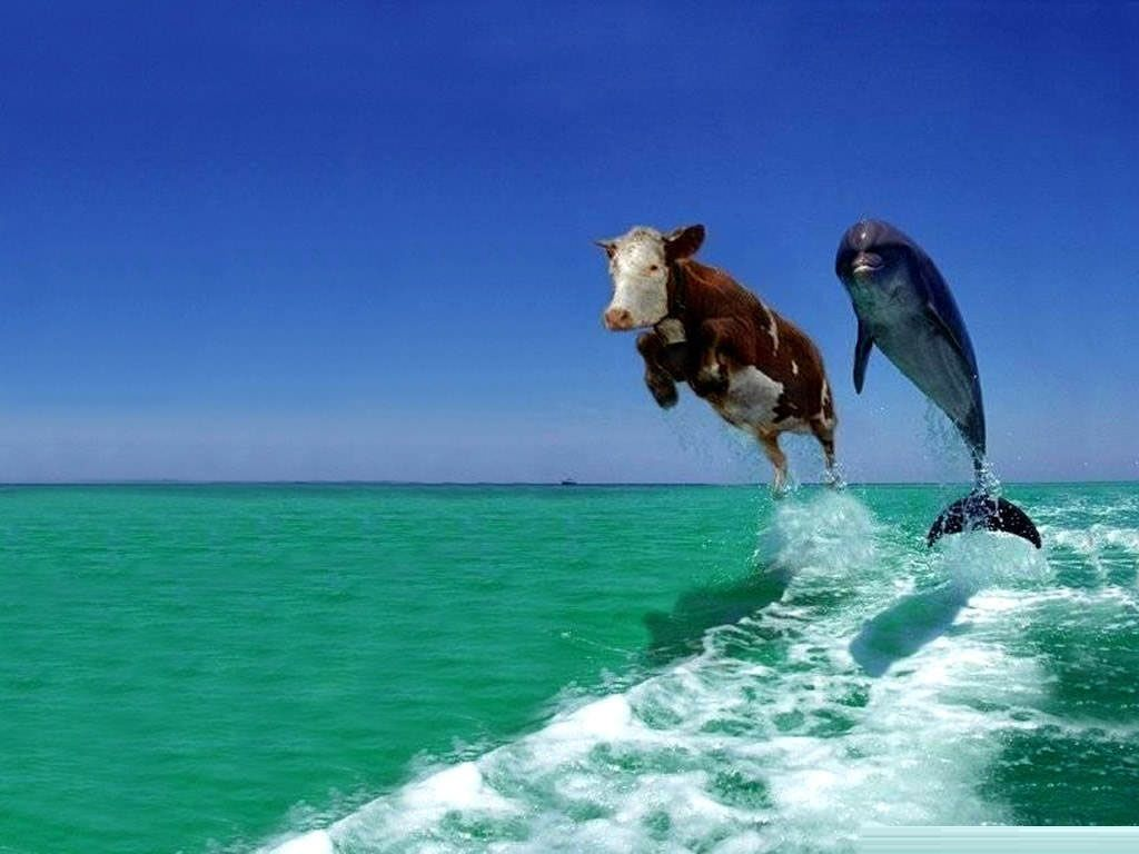 Funny Pictures Images Funny Desktop Backgrounds Full Desktop Backgrounds Funny Animal Pictures Cows Funny Funny Animals
