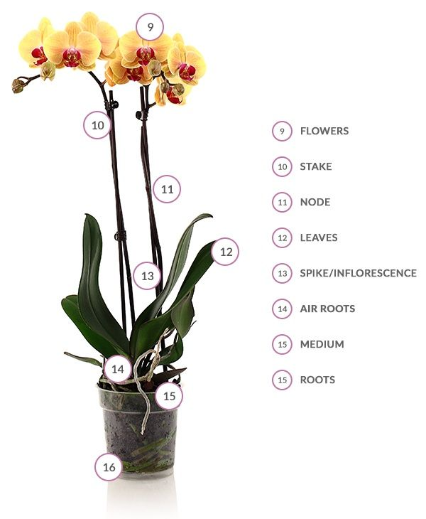 Parts of an orchid | House Plants | Pinterest | Orchid, Phalaenopsis ...