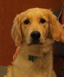 Adopt Daphne On Dogs Golden Retriever I Love Dogs Dogs