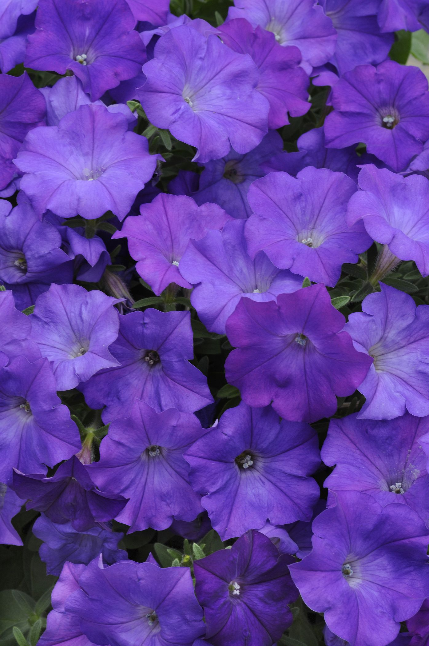This Shock Wave Denim Petunia Is So Just So Vibrant There Is So