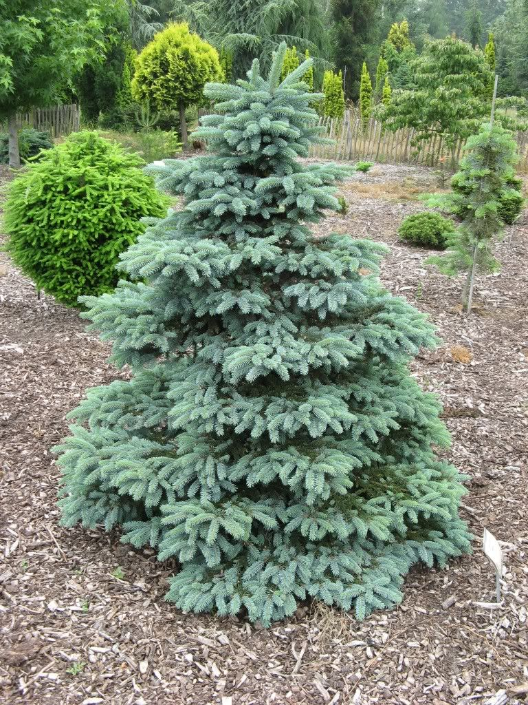 Starting a new thread since it's a nice grey, rainy day and maybe this is one that more folks up north can contribute to. As before, please try and limit your photo additions to 4-6 pics at a time and try not to post duplicates unless your cultivar is different in size or form. Picea pungens 'Aubie'...