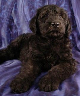 Giant Schnoodle Purebred Puppies Dog Breeder Schnoodle Schnoodle Dog Dog Breeder