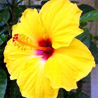 200 Hibiscus Flower Seeds Mixed Different Colors Diy Home And