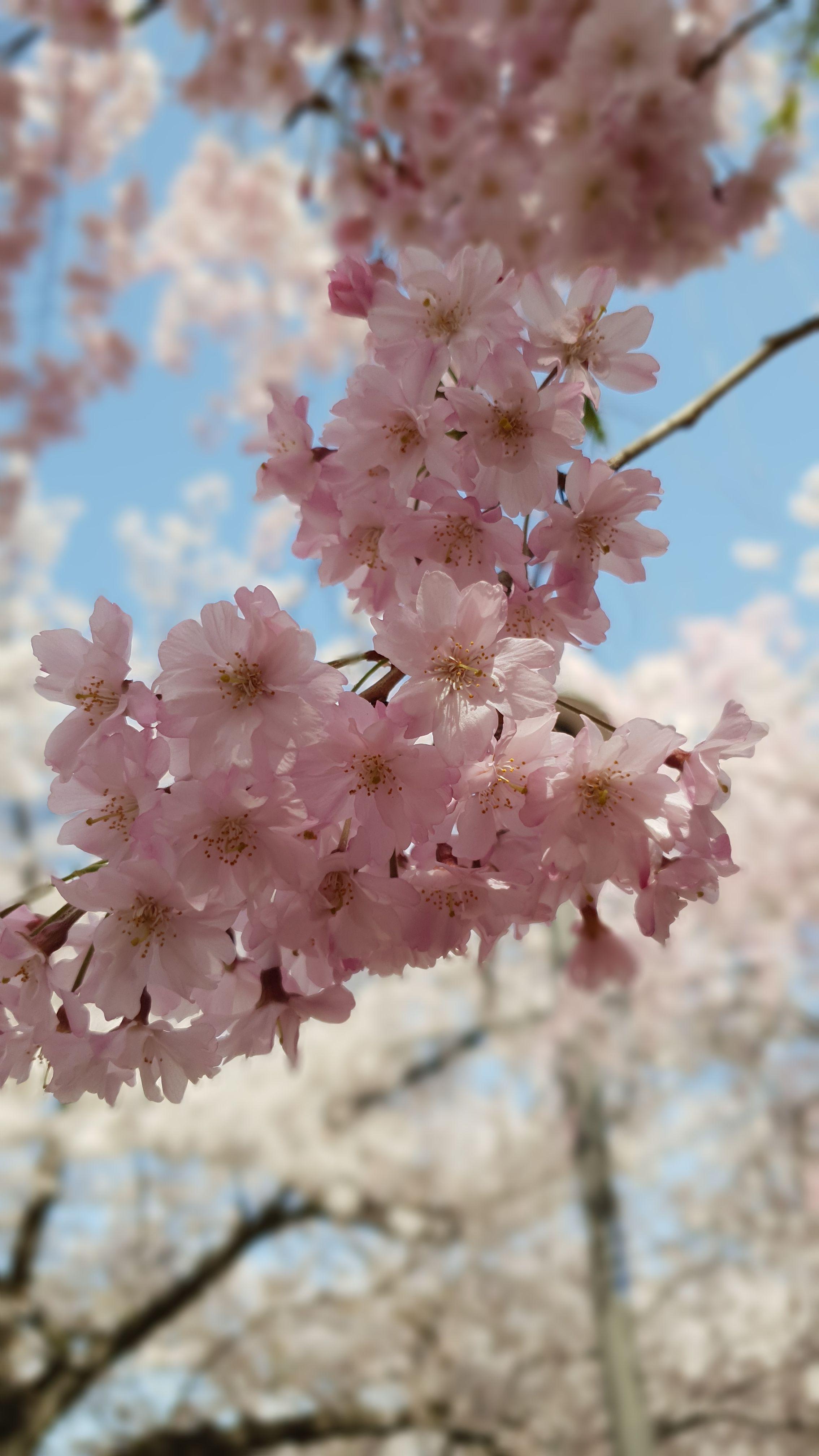 Cherry Blossoms In Japan Cherry Blossom Japan Osaka Castle Cherry Blossom