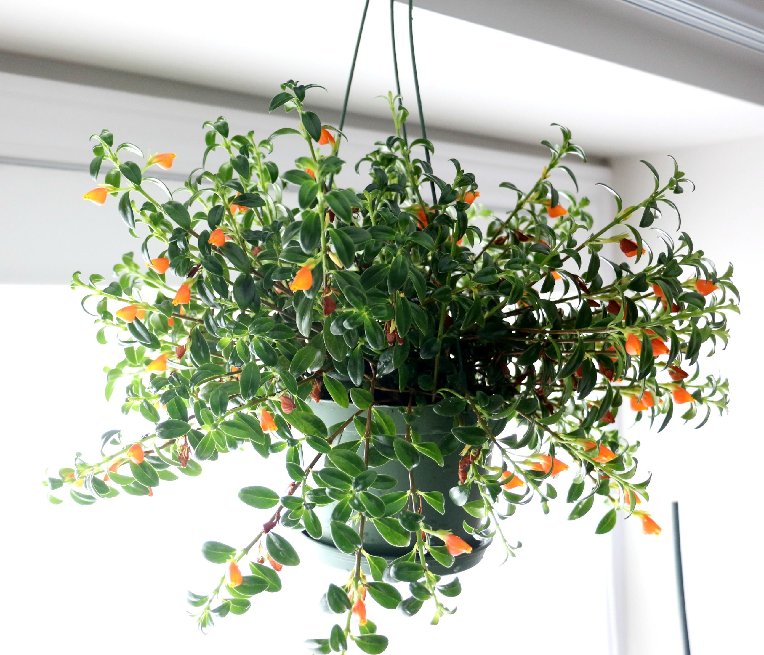 Indoor Hanging Plants For Low Light Iron Blog