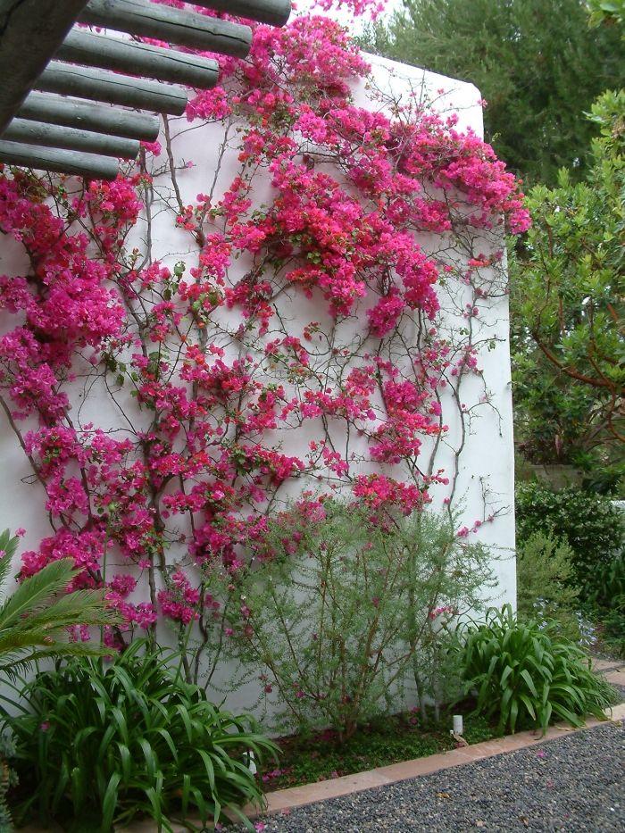 Bougainvillea cultivars bougainvillea with beautiful pink flowers bougainvillea cultivars bougainvillea with beautiful pink flowers this bougainvillea will look great in mightylinksfo
