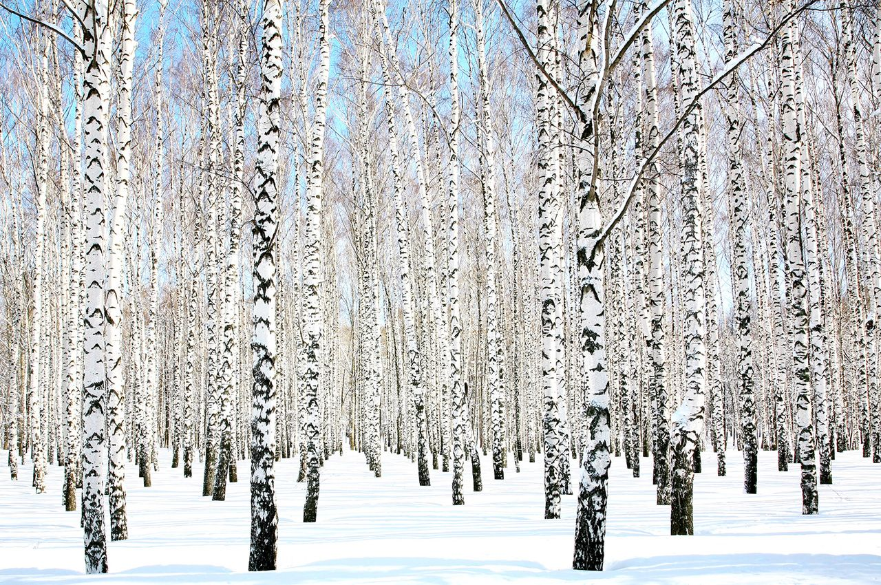 Who doesn't love birch tree wallpaper? myMYWmural