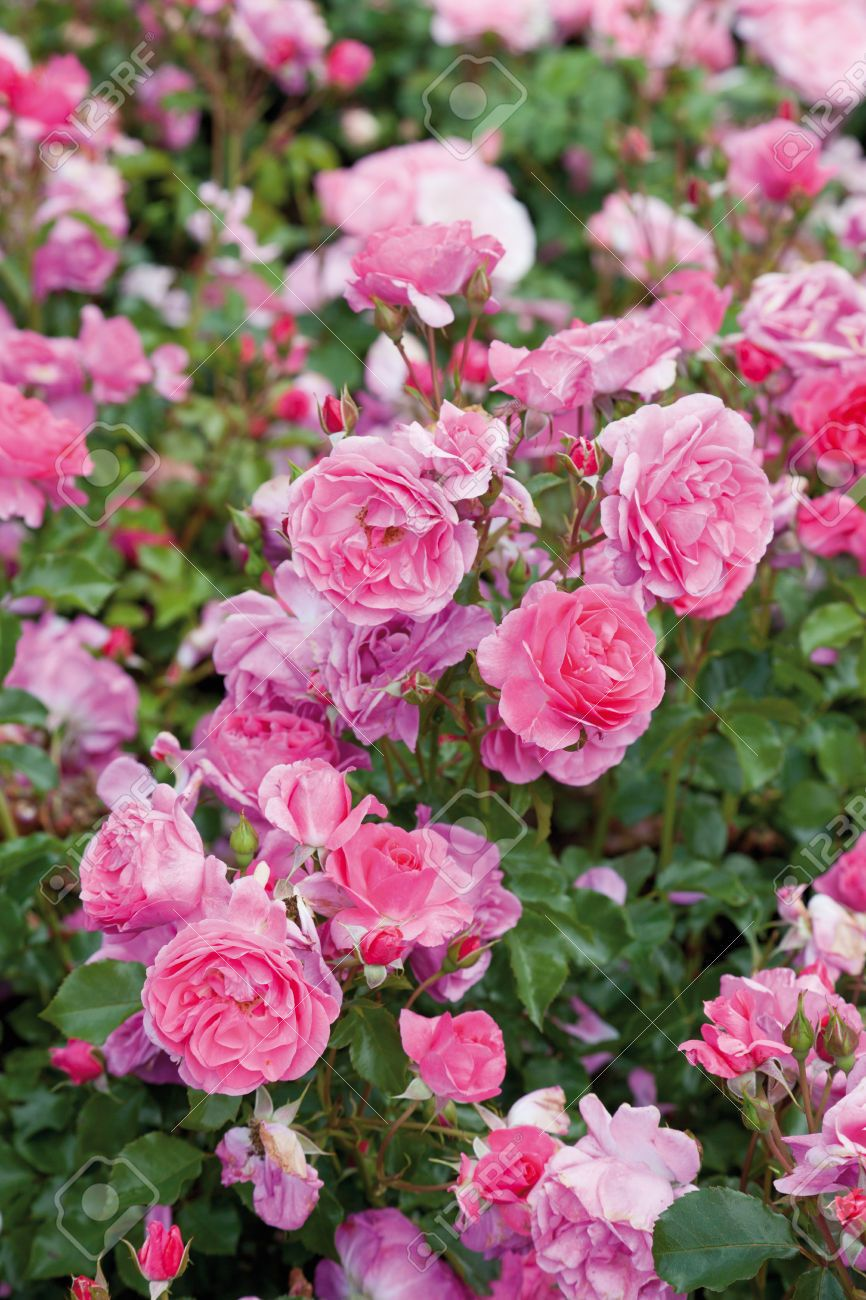 Stock Photo Planting roses, Plants