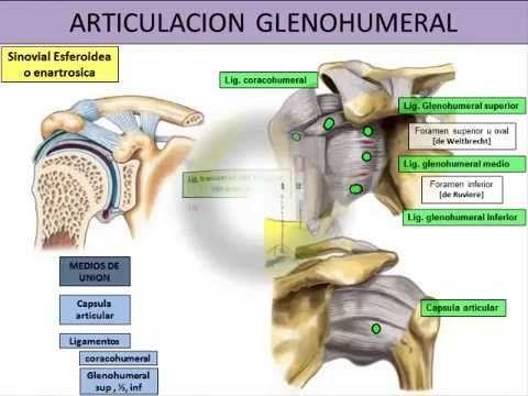 Articulación glenohumeral   Dolopedia