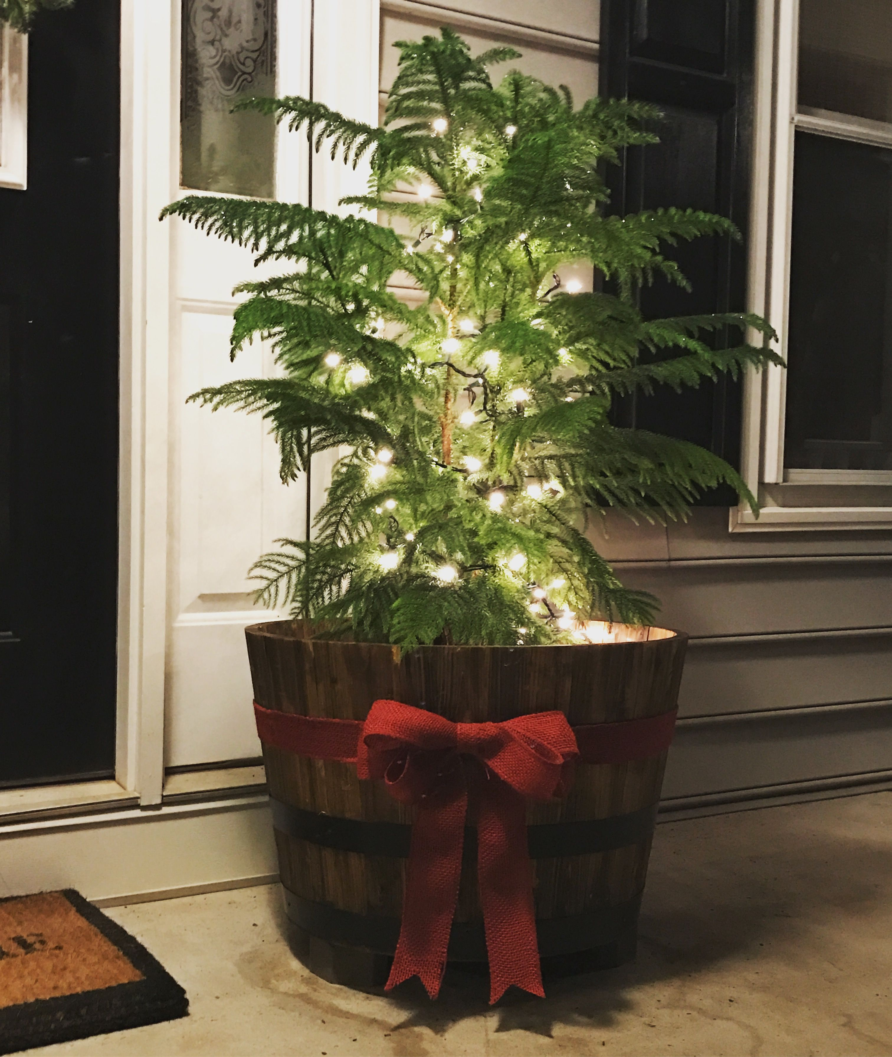 Norfolk Island Pine From Lowes For 17perfect For My Front Porch