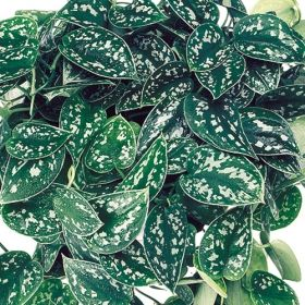 silver philodendron one of over 400 varieties from exotic angel plants over 400 different. Black Bedroom Furniture Sets. Home Design Ideas