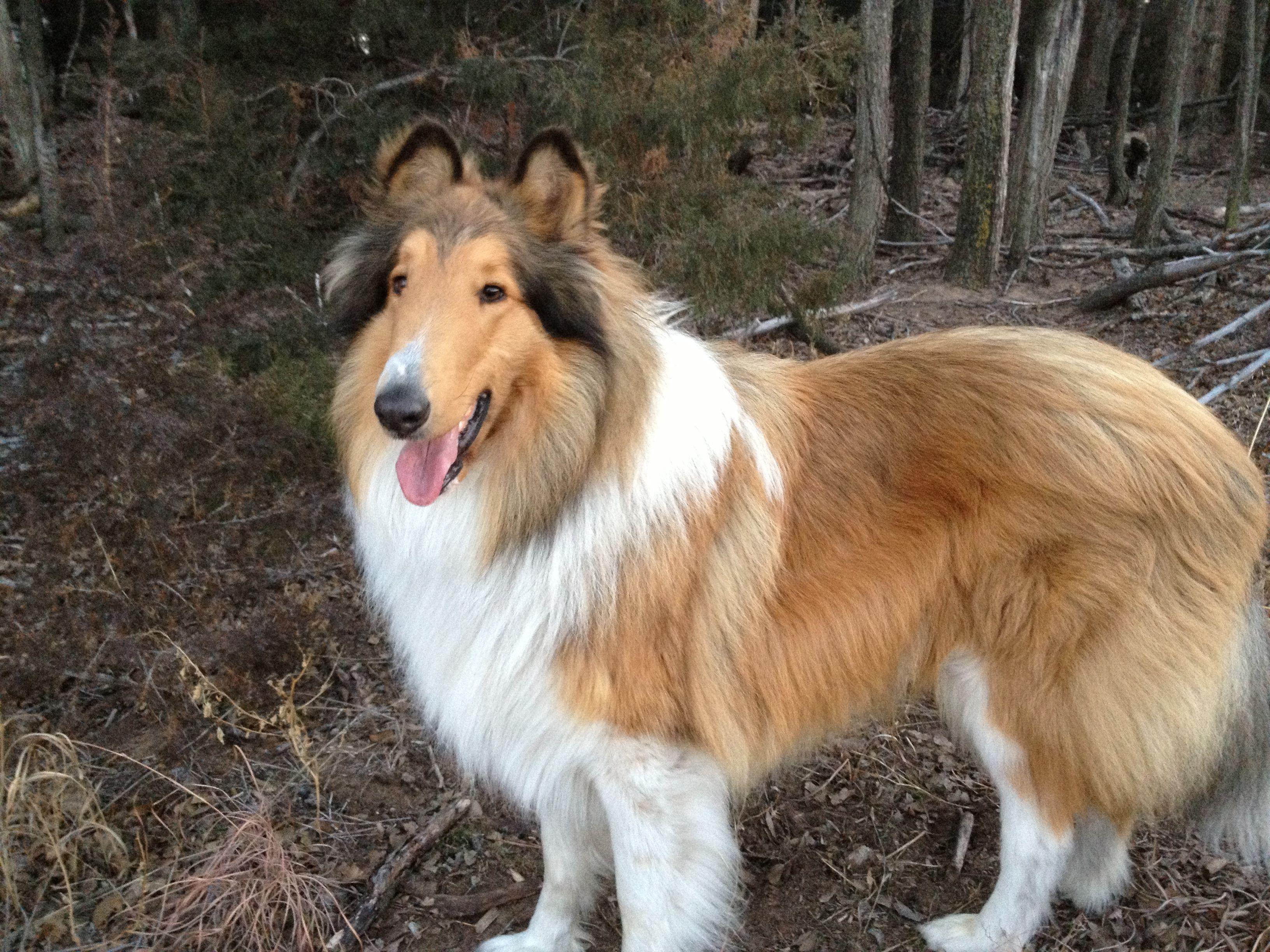 Titan Kansas Collie Collie Rough Collie Best Dog Breeds