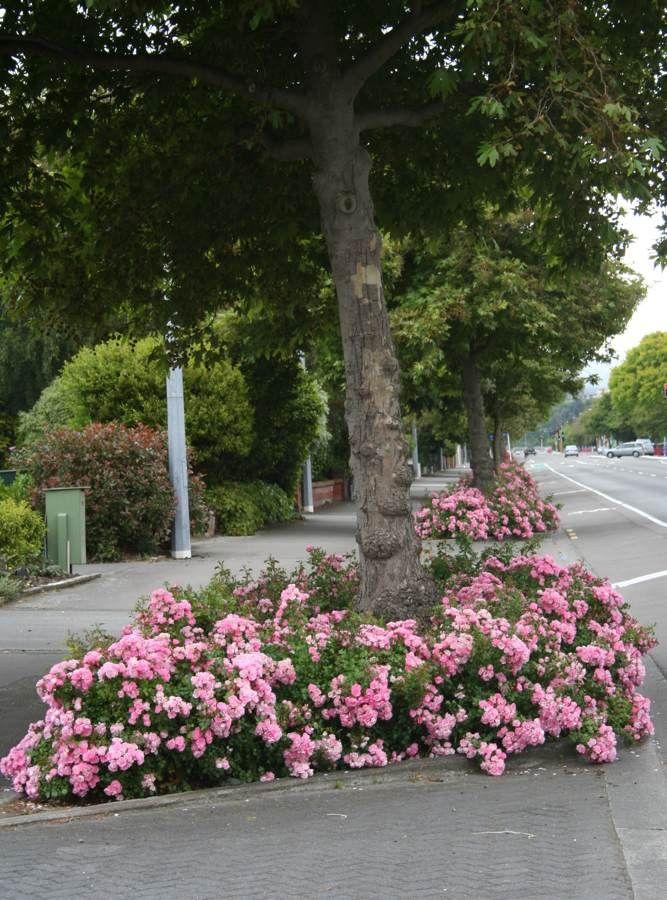 Flower Carpet Roses Are The Easiest Rose To Grow Apple Blossom Flower Simple Rose Landscape Design