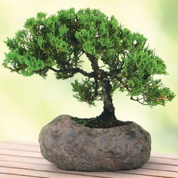 Costco: Green Mound Juniper In Rock Bonsai Tree | Home | Pinterest ...