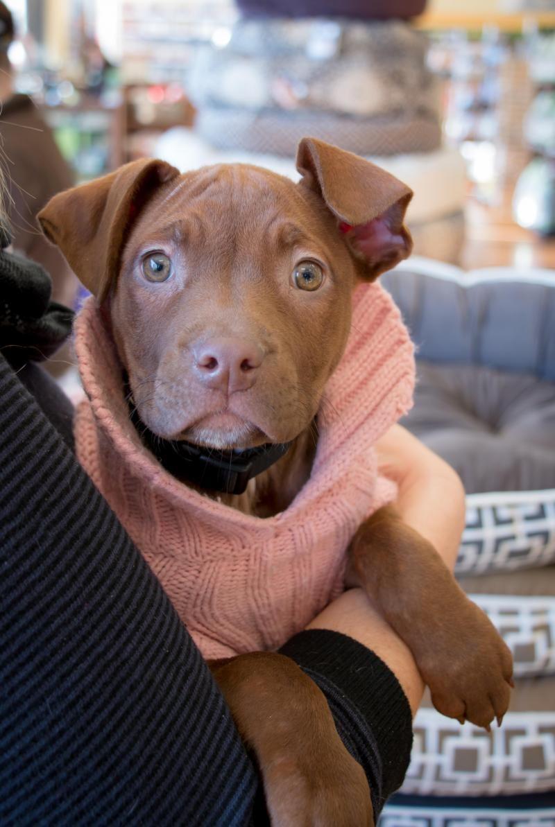 Adopt Mocha On Dogs Pitbull Lover Cute Animals
