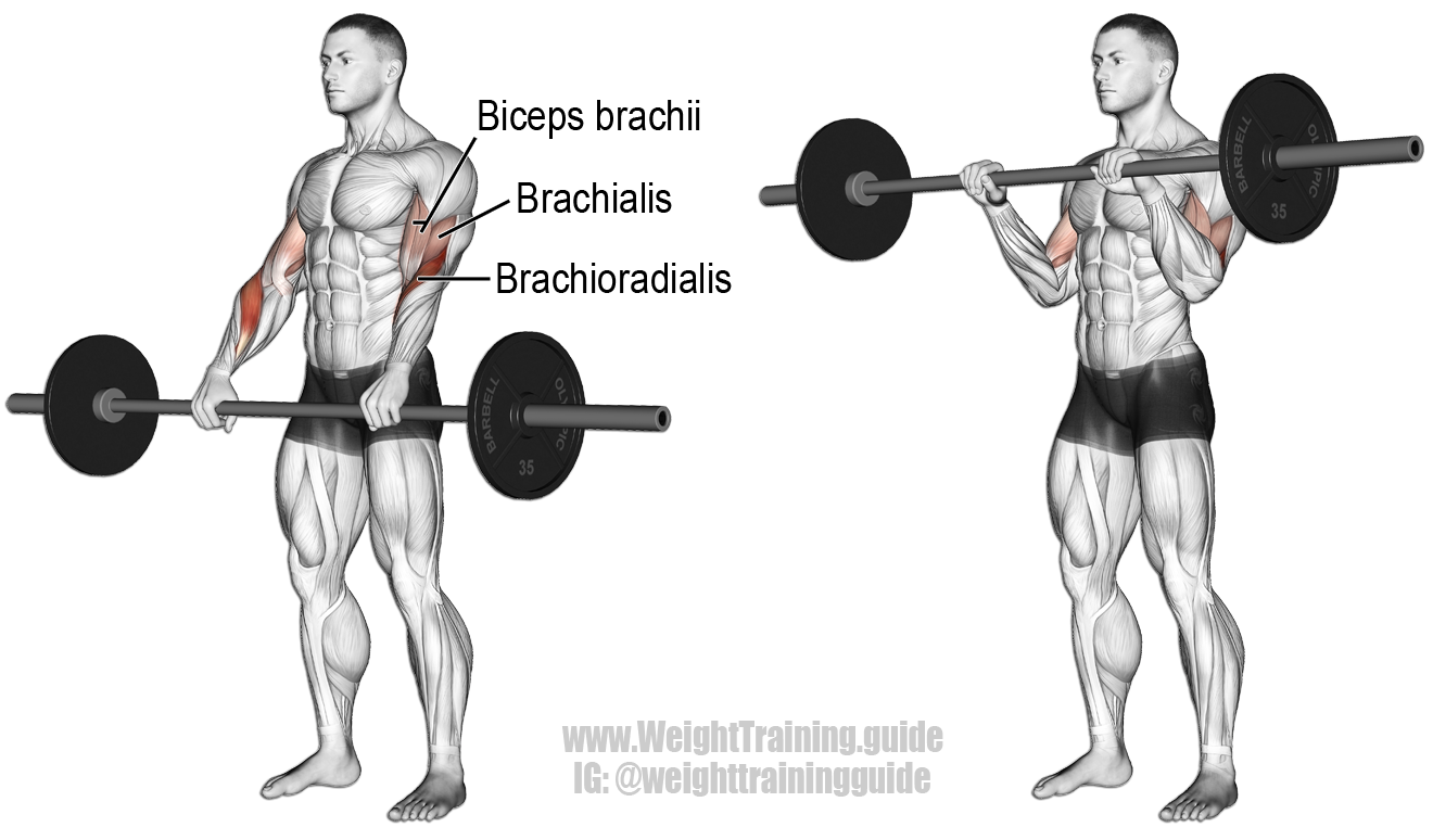 Barbell Reverse Curl Exercise Instructions And Video Arm