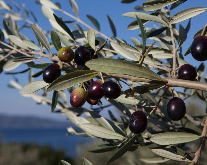 Appellation Origine Protégée huile du0027olive Corse AOP Maquis