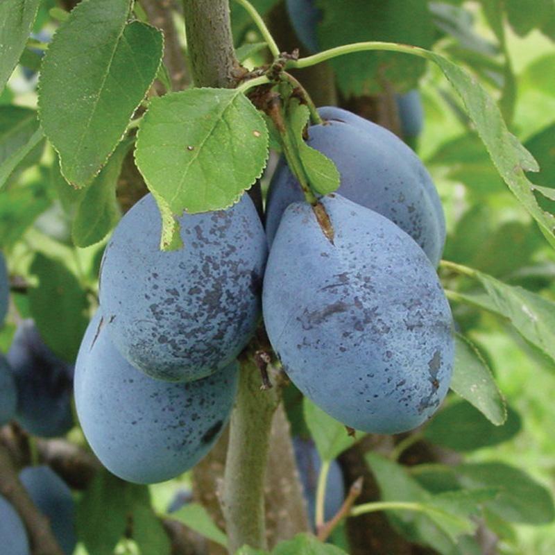 stanley prune plum from stark bro s prune plum plum tree and