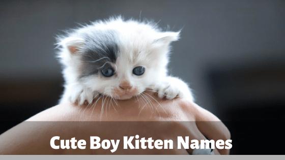 Cute Boy Kitten Names 2020 For Funny Best Cat Names List In