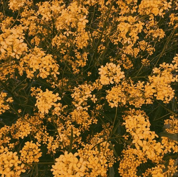 Yellow flowers aesthetic flowers and such in 2018 pinterest yellow flowers aesthetic mightylinksfo