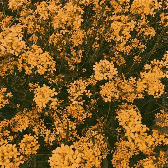 Pastel Yellow Aesthetic Flowers
