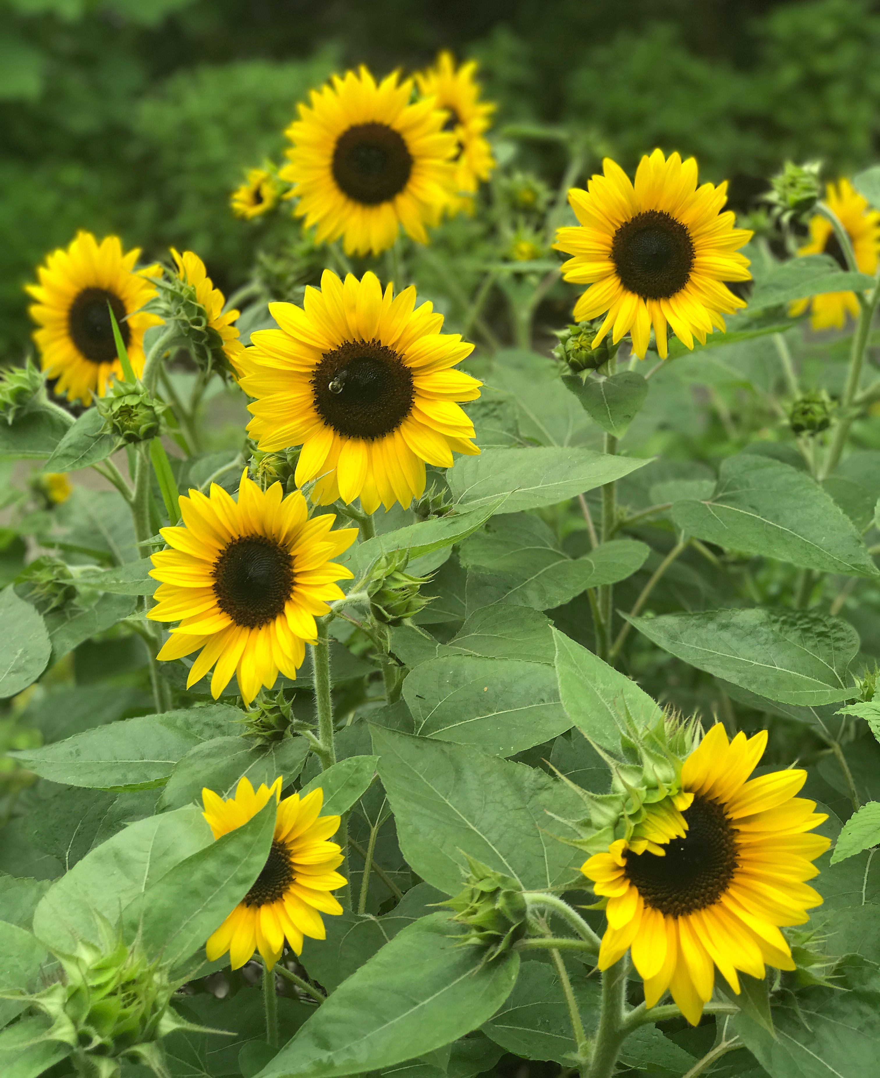 We Fell In Love With Junior Dwarf Sunflowers All Over Again Last Year In The Test Garden They Re Petit Dwarf Sunflowers Planting Sunflowers Sunflower Bouquets