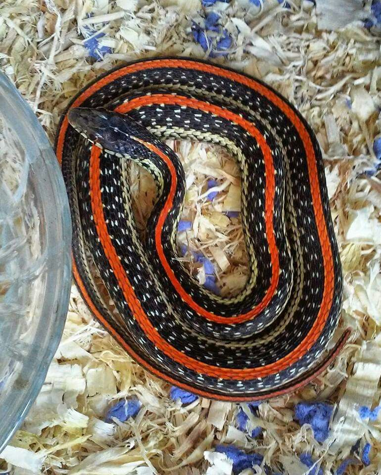 Consider, asian garter snakes happiness has