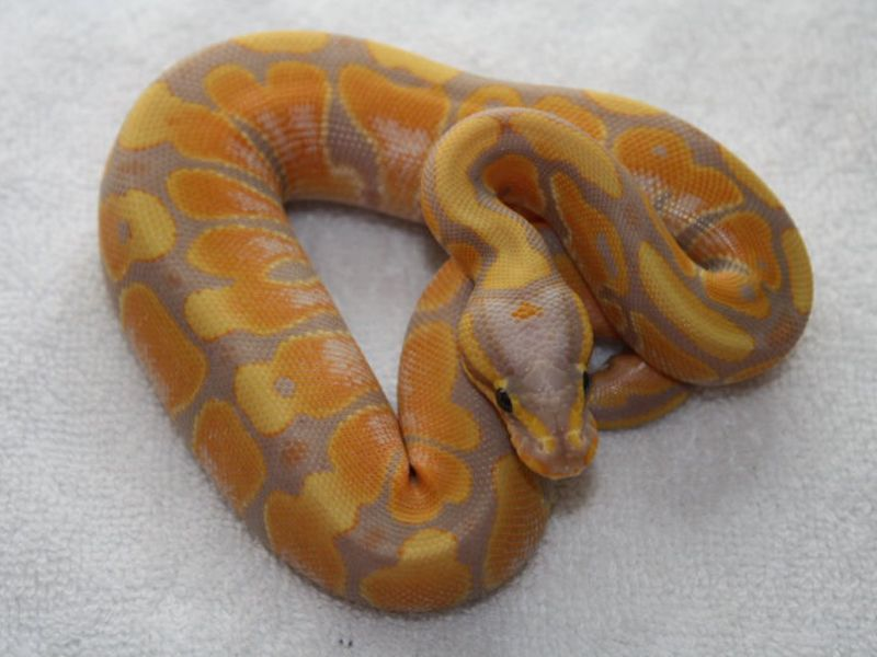 Banana orange dream ball python morph, orange, yellow, purple, Python Regius, high end morph, snake, exotic animal