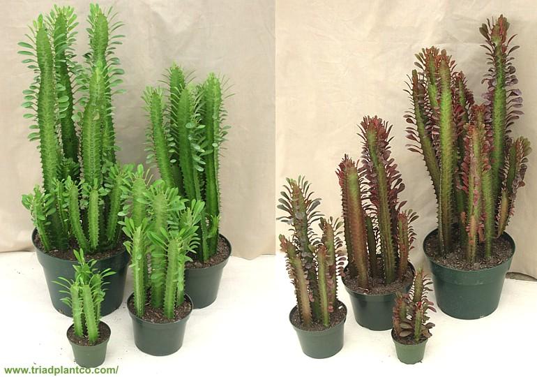 Euphorbia Trigona Kwiaty Doniczkowe Hanging Plants Hanging Plants Indoor Cactus Plants