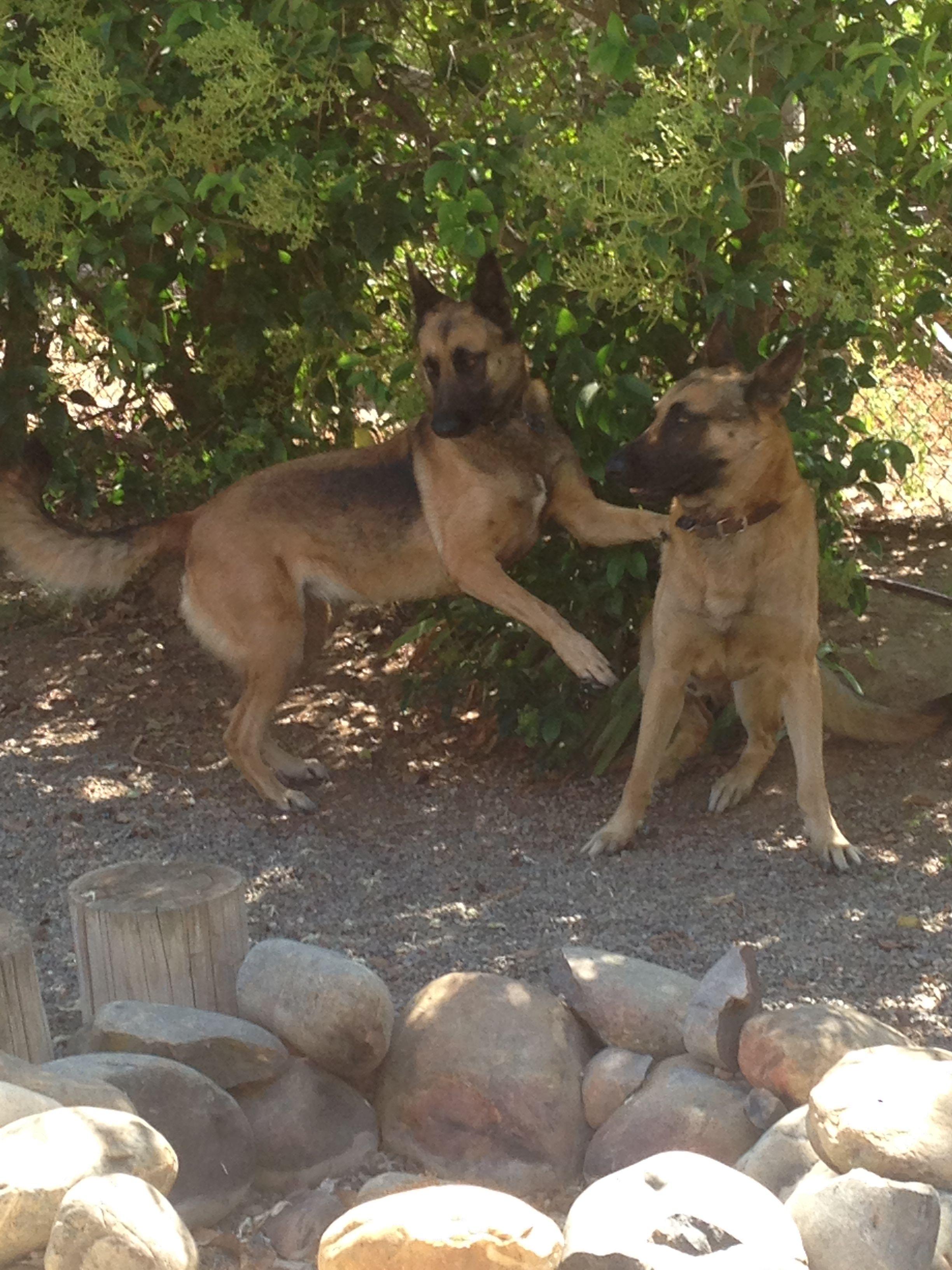 Pin By Julie Kosinski On Animals Belgian Malinois Dog Malinois