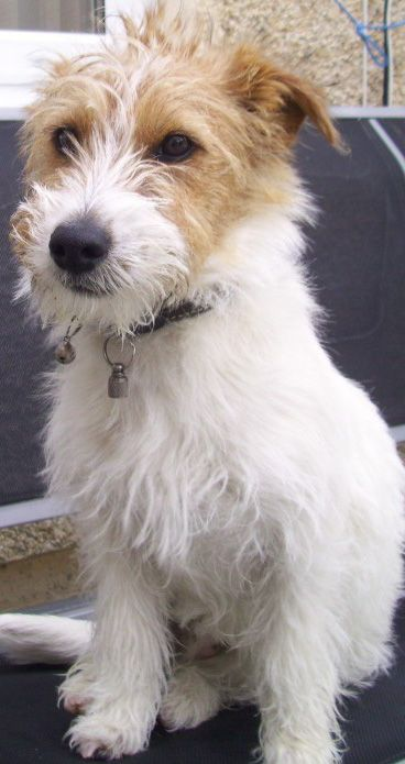 Jack russell/yorkshire terrier mix