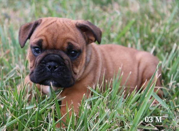 Petland Kansas City Has Bulldog Puppies For Sale Check Out All