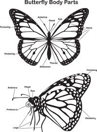 Coloring Sheets to Download Monarch butterfly, Butterfly