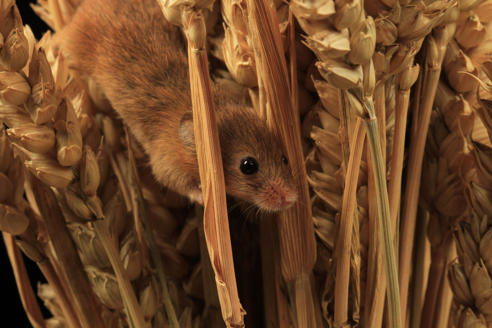 Baby field mice playing in corn Baby