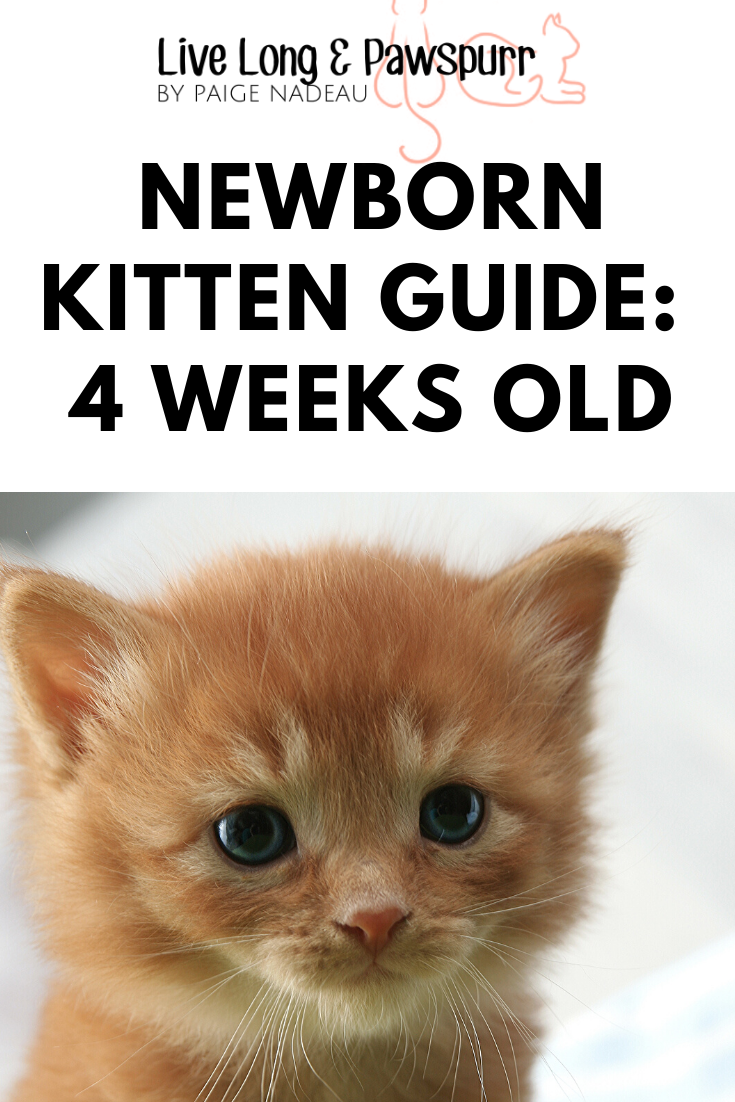 The Simple Guide To Caring For Four Week Old Kittens Live Long And Pawspurr In 2020 Newborn Kittens Kitten Care Pet Care Dogs