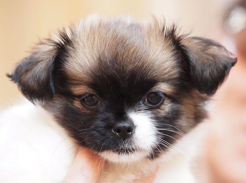 Half Chihuahua And Half Shih Tzu Adorable I Want