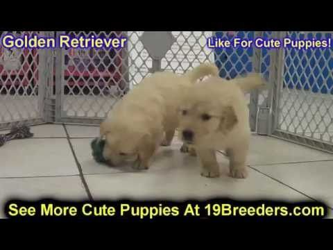 Labrador Retriever Puppies Jacksonville Fl Golden Retriever