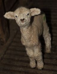 Because...I have to admit, I really love me some sheepies :)