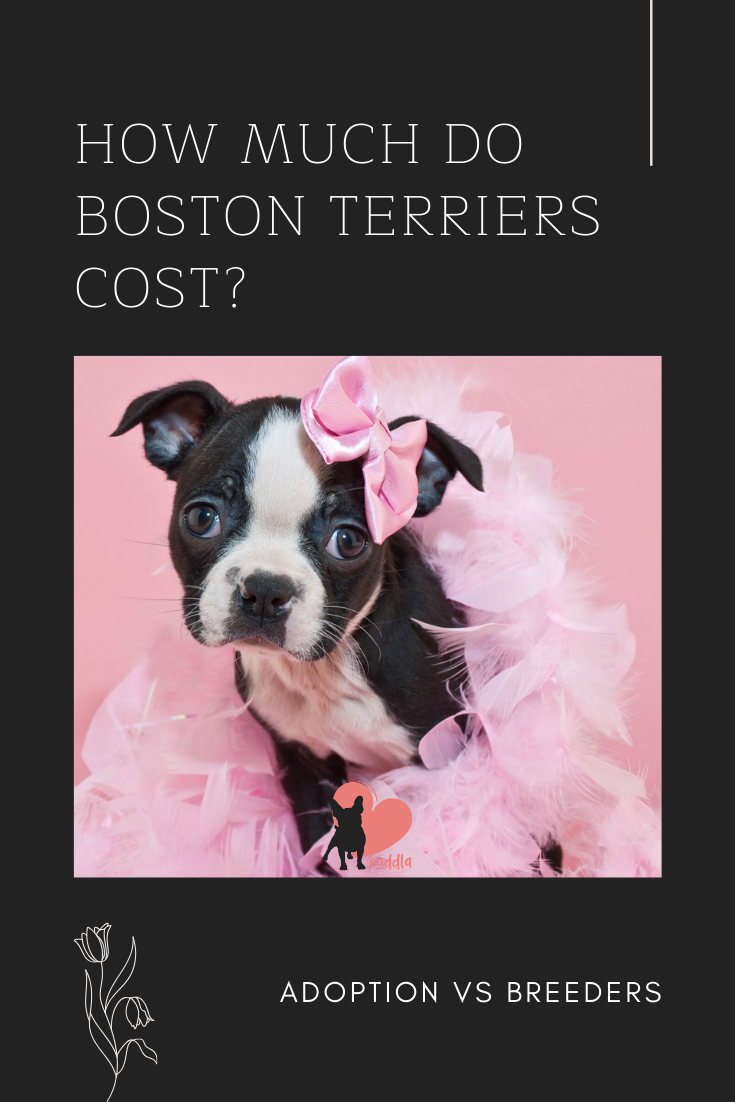 Pin On Boston Terrier Facts