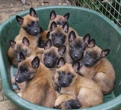 A tub o' Malinois puppies! | Malinois | Malinois chiot ...