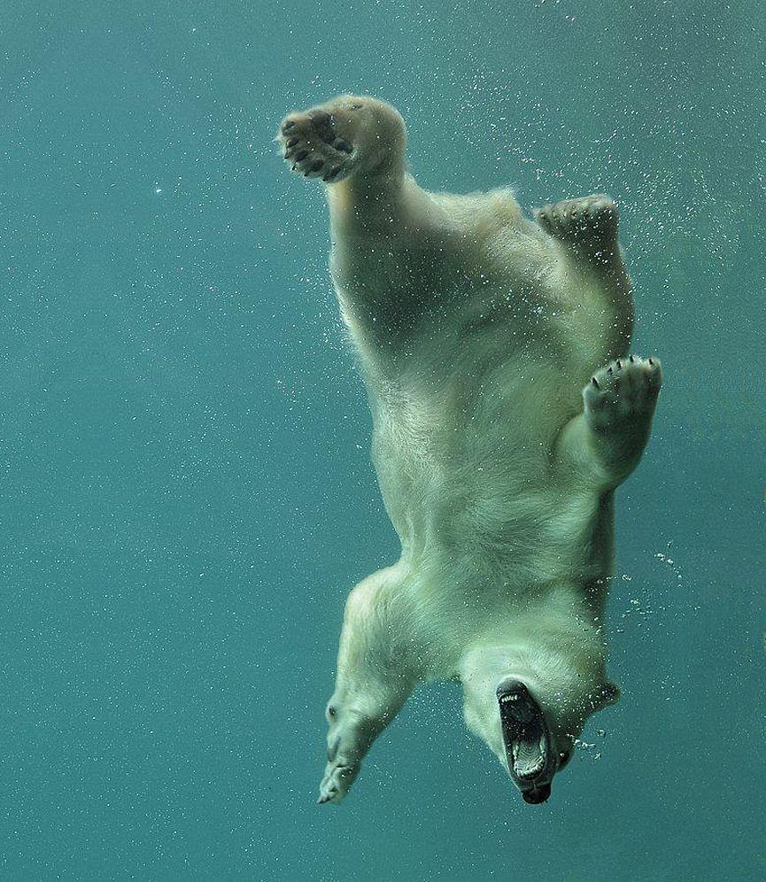 Mundo Animal | Oso polar, El oso polar y Osos