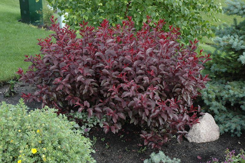 Tall purple shrub bathroom purpleleaf sandcherry for Tall flowering shrubs