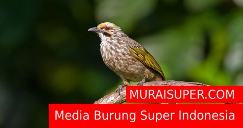 Download Mp3 Suara Cucak Rowo Gacor Ropel Dan Gacor Cucak Rowo Burung Suara