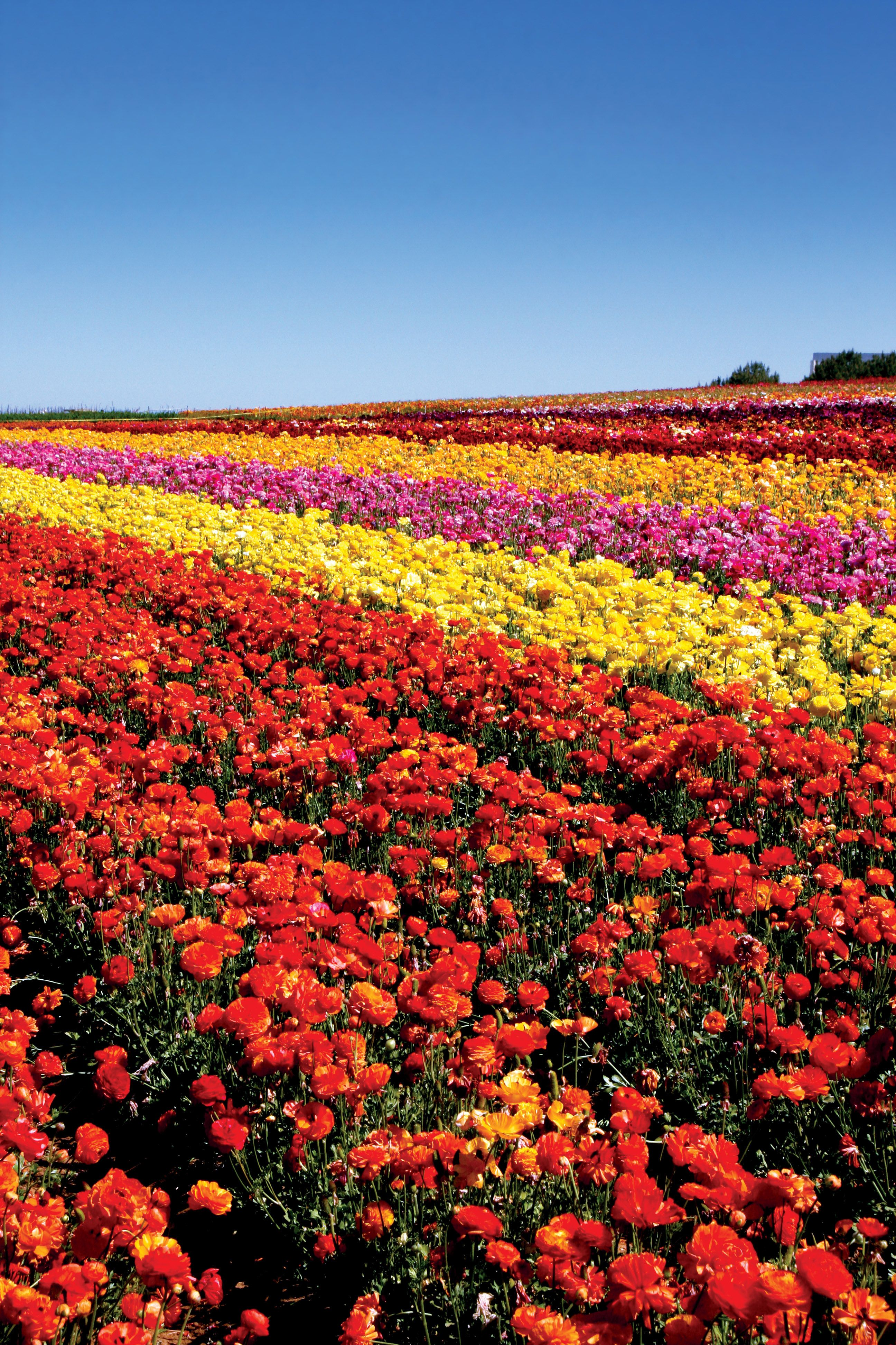The Flower Fields, Carlsbad, CA Roses are only the