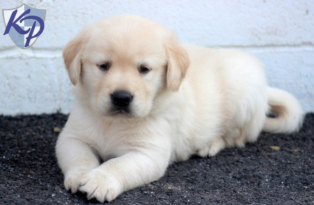 Puppy Finder Find Buy A Dog Today By Using Our Petfinder Golden Labrador Puppies Labrador Puppies For Sale Puppies