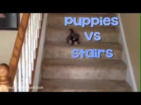 Puppies Vs Stairs So Cute Weekendsmile Cute Puppy Videos