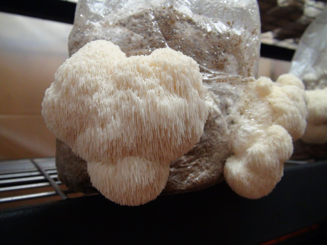 growing lions mane mushrooms at home health pinterest