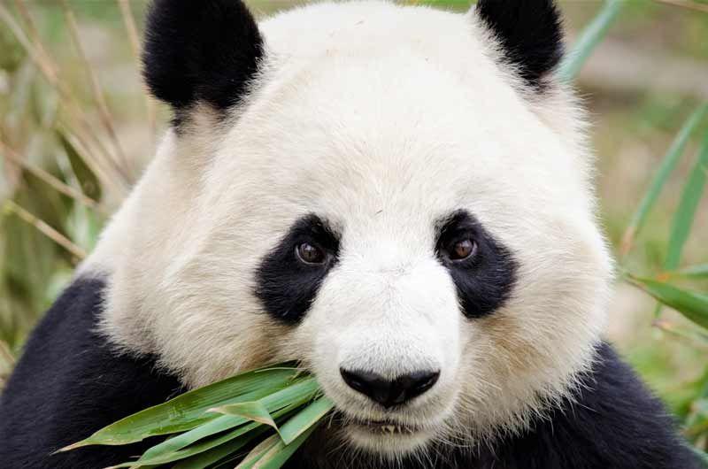 Oso Panda Comiendo Bambú