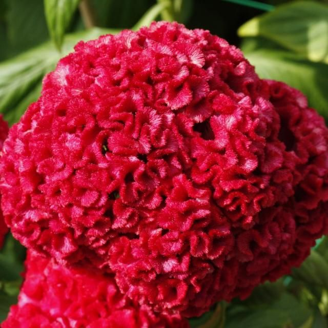 Bright Red Celosia Flower Picture Jpg See Brain Flowers