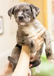 Adopt Crosby On Boxer Dogs Boxer Blue Merle